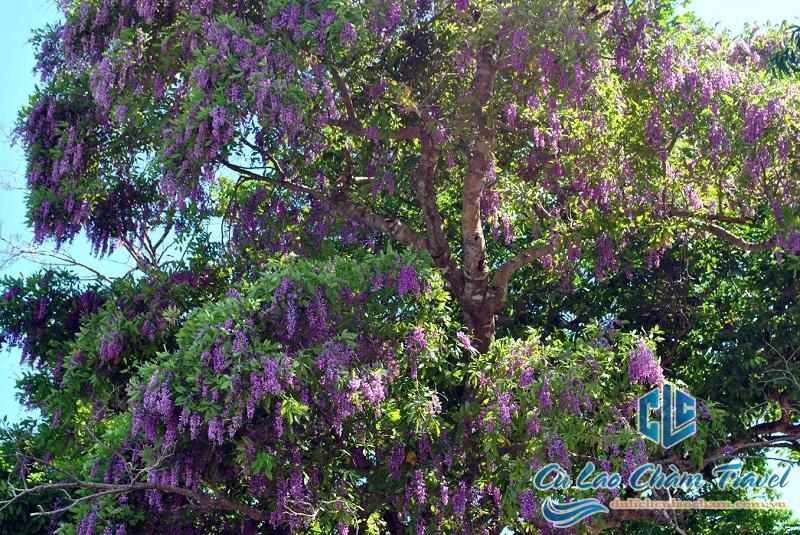cây di sản cù lao chàm
