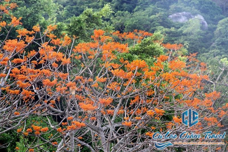 cây ngô đồng cù lao chàm